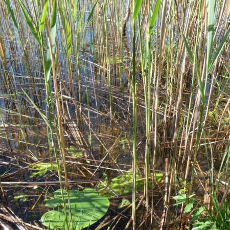 Reeds in Lake.